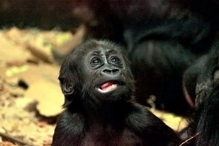 A baby gorilla with its mouth open.