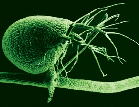 Scanning electron micrograph of the bladder of Utricularia gibba, the humped bladderwort plant.