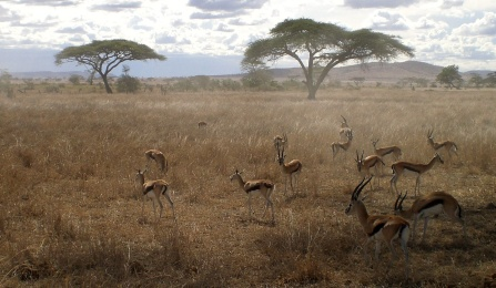 Gazelles in the Serengeti.