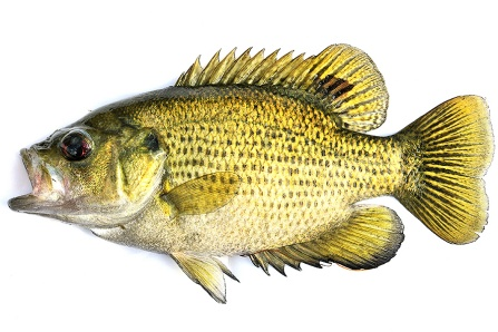 Illustration of a rock bass. Image is a stock image and may not be republished.