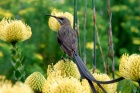 A gray-brown bird sitting atop a yellow flowering plant.