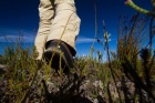 The feet of a researcher viewed at ground level as he walks through a shrubland.