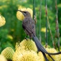 A gray-brown bird sits atop a yellow flowering plant.