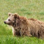 A bear standing in tall grasses.