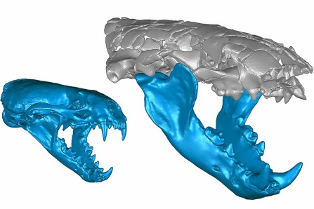 3-D rendering of Siamogale melilutra skull along with a rendering of a modern-day otter skull for comparison